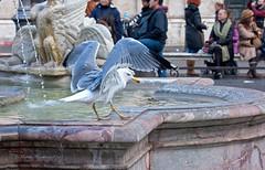 Atterraggio a Piazza Navona (Michele Monteleone) Tags: uccello gabbiano fontana acqua pietra roma michelemonteleone canon 40d