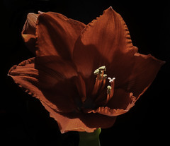 Giant Amaryllis Back Lit With Natural Light (Bill Gracey 22 Million Views) Tags: giantamaryllis flower fleur flor backlit backlighting sunlight mirror reflectedlight macrolens floralphotography nature naturalbeauty red color stamens texture lakeside shadows textures