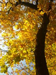Aesculus on fire (Jörg Paul Kaspari) Tags: herbst autumn fall autumnfoliage pfalzel wallanlage park aesculushippocastanum aesculus hippocastanum roskastanie kastanie gelb orange gelborange autumncolours aesculusonfire