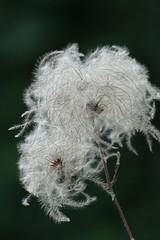 FLUFFY.... (beatawozniak1968) Tags: flora seeds naturephotography bokeh plant macro closeup flower