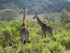 Masai giraffe - Giraffa camelopardalis tippelskirchii (Linda DV) Tags: masaigiraffe giraffacamelopardalistippelskirchii artiodactyla wileliwildlifepark wildlife park vulnerable lindadevolder africa 2018 lumix travel geotagged nature kenya fauna naivasha lake