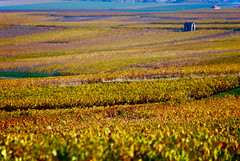 Champagne (Vainsang) Tags: champagne vignoble vignes vineyard automne fall autumn reims montagnedereims verzenay