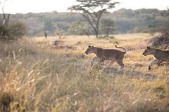 Lion Cubs Playing (wwpics19) Tags: mahalimzuri grassland animal kenya safari afrika olareorokconservancy lions lioncubs cubs playing running