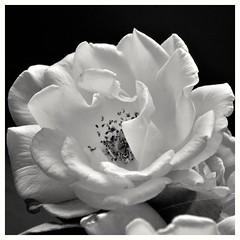 Back to Square One (holly hop) Tags: mm macromondays macro bw blackandwhite square mono monochrome rose flower floral greyscale dark backtosquareone center centersquarebw