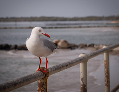 seagull (beautiful.betty18) Tags: challengeyouwinner gamex2