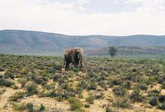 (DawnChapman) Tags: 35mm analog film fuji fujicolor fujicolorsuperia200 superia200 filmphotography travel elephant safari reserve aquila capetown southafrica