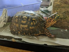 Sam the Box Turtle 2018