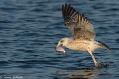 Herring gull - Larus argentatus - mewa srebrzysta (tomaszberlin) Tags: herring gull mewa srebrzysta larus argentatus szczecin lagoon prey fish roach poland polska ngc