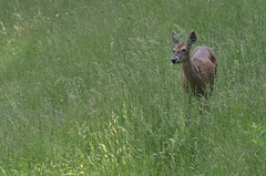 2018 05 21 658 Carr farm, WV (Mark Baker.) Tags: 2018 america baker braxton county mark may north us usa virginia wv west day deer outdoor photo photograph picsmark rural spring states united whitetailed wildlife