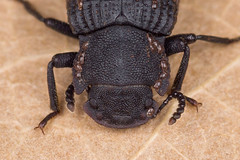 Bolitophagus reticulatus (NakaRB) Tags: 2017 insecta coleoptera tenebrionidae bolitophagusreticulatus