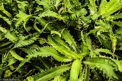 Spiky Leaves (Thad Zajdowicz) Tags: zajdowicz sanmarino california usa travel canon eos 5dmarkiii 5d3 dslr digital availablelight lightroom primelens 50mm nature flora leaf plant spiky color green colour garden