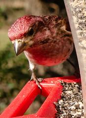 Purple Finch (TimHughes1963) Tags: birds wild feeder nature purple finch