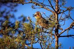 Nötskrika_8251 Garrulus glandarius (anders arman) Tags: nötskrika garrulusglandarius eurasianjay jay bird fågel wildlife natur nature simsjön hölö forest