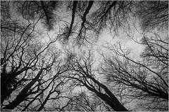 Baumwipfel (geka_photo) Tags: gekaphoto bülk schleswigholstein deutschland bäume winter baumwipfel