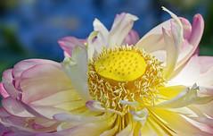 Lotus flower 2019-01-19 (5D_32A8615) (ajhaysom) Tags: bluelotuswatergardens lotus flower yarrajunction canoneos5dmkiii canon100mmlmacro melbourne australia