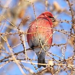 Durbec des sapins / Pine Grosbeak (alainmaire71) Tags: oiseau bird fringillidae pinicolaenucleator durbecdessapins pinegrosbeak nature quebec canada hiver winter