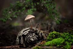 Enchanted forest / El bosque encantado (ElenaVazquez) Tags: wildmushroom mushroom seta fungi bolet forest woods autumn autumnalview otoño bosque tardor bosc ibiza eivissa piña enchantedforest bosqueencantado pinecone naturaleza naturephotography nature natureporn