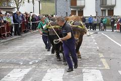 Sanmartiñak18: Asto eta idi dema (Aiurri) Tags: aiurri sanmartiñak jaiak amasa idiak astoak dema plaza