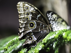 Butterfly I (Joe Josephs: 3,166,284 views - thank you) Tags: butterflies insects science animals nature naturephotography americanmuseumofnaturalhistory nyc newyorkcity sciencemuseum travel travelphotography