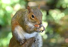 Making a meal of it! (Eleanor (No multiple invites please)) Tags: animal squirrel greysquirrel bokeh goldershillpark london nikond7200 november2018 ngc npc