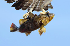 Hooked! (bmse) Tags: canon7d2400mmf56l bmse salahbaazizi wingsinmotion osprey fish fishing spottedbaybass bass