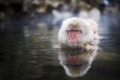 Snow Monkey (Trey Ratcliff) Tags: japan treyratcliff stuckincustoms stuckincustomscom portrait animal monkey snow snowmonkey water swim winter travel photography