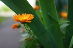 Spring IS here again....life never stops (RS PhotoArt) Tags: spring chile santiago barrioitalia zen mindfulness 35mm sonnar zeiss carl rx1 sony bokeh orange green garden flowers