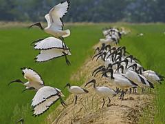 Threskiornis aethiopicus  /Ibis sacro / African ibis (Alvaro Colombo) Tags: fantasticnature coth alittlebeauty specanimal ngc coth5 npc