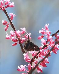 Redbud and friend (RPahre) Tags: redbud moth spring bokeh hoosiernationalforest indiana charlescdeamwilderness deamwilderness deam