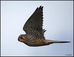 Faucon crécerelle mâle (pat lechner) Tags: faucon crécerelle fauconcrécerelle marquenterre baiedesomme baiedelacanche picardie grandslaviers montreuil sur mer montreuilsurmer