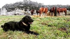 Hoy tenemos visita por Cuadra El Alisal😍🐶 se llama Pipa y es de Elena @bajolostilos_ribadesella!!!! Es tan grande que pasa perfectamente por uno de nuestros caballos 😜🐎 - - - - - 🐶❤️:racehors