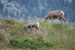 BNP_009 (Kerri M.) Tags: banffnationalpark canadaparks wildlife bighornsheep nationalparks canadianrockies