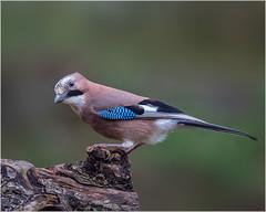 Jay (Linton Snapper) Tags: garrulusglandarius jay corvid bird gardenbird canon cambridgeshire lintonsnapper tonysmith
