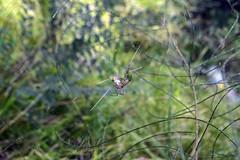 St. Andrews Spider having lunch. (viento.loco) Tags: spider aussiespider australianspider standrewsspider aracnide spiderweb