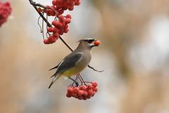 Cedar Waxwing (Christopher Lindsey) Tags: naturetrail mcnary dam umatillacounty oregon winter cedarwaxwing birds birding exquisite