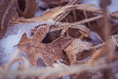 Frosty Leaves (Tony Webster) Tags: minnesota saintcroixstatepark stcroixstatepark frost leaves snow winter crosbytownship unitedstates us