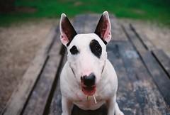 :P (Malkav) Tags: bullterrier hund villa dehesa spain madrid gos perro dog terrier bull analog film ultramax kodak ql17 canonetql17 canonet canon