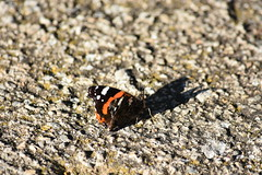 Vanessa atalanta (esta_ahi) Tags: montferri altcamp tarragona spain españa испания vanessa atalanta vanessaatalanta nymphalidae mariposa papallona butterfly lepidoptera insectos fauna