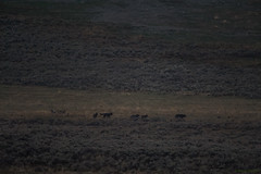 7 loups à la nuit tombée (Samuel Raison) Tags: wolf wolves loup loups canislupus wildlife nature naturephotography yellowstone yellowstonenationalpark yellowstonewildlife wildlifephotography nikon nikon4600mmafsgvr nikond3