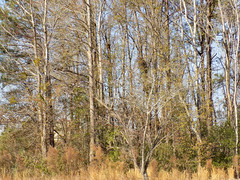 Wooded Area. (dccradio) Tags: lumberton nc northcarolina robesoncounty outdoor outdoors outside february winter afternoon saturday saturdayafternoon goodafternoon nikon coolpix l340 bridgecamera nature natural tree trees branch branches treebranch treebranches treelimb treelimbs sky bluesky woods wooded tallgrass