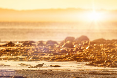 Curlew Sunset (Dan Baillie) Tags: beach glenluce scotland wigtownshire sunset sea sky curlew wildlife coast wader water rocks winter shore