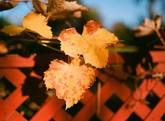 Santa Clara (bior) Tags: santaclara ektar25 pentax645nii 6x45cm 645 kodakektar25 expiredfilm mediumformat 120 pentax645 tree fallfoliage winter redfence