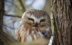 Zoomed In (hd.niel) Tags: northernsawwhetowl owls inthewild nature photography wildlife winter ontario cedartree nikon7200 nikkor80400 iso11001250s400mm forest conifer