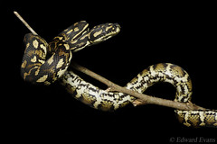 Jungle carpet python (Morelia spilota cheynei) (edward.evans) Tags: morelia spilota cheynei moreliaspilotacheynei moreliaspilota junglepython junglecarpetpython carpetpython jungle carpet python pythonidae cairns farnorthqueensland queensland australia snake herp reptile herping fnq