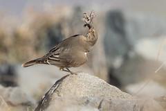 Mero Gaucho (ik_kil) Tags: merogaucho blackbilledshriketyrant lizard agriornismontanus valledelyeso regiónmetropolitana avesdechile birds chile