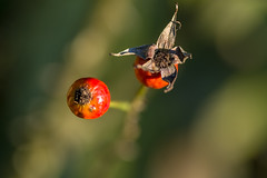 Rose hips (tonguedevil) Tags: outdoor outside countryside winter plants roses hips red green colour light nature