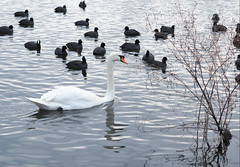 The Thing about Size - or the White Swan amongst black Ducks (1elf12) Tags: smileonsaturday oddoneout swan schwan blässhuhn südsee germany deutschland braunschweig bird