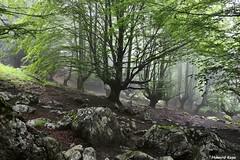 Ahi hay hayas. (Howard P. Kepa) Tags: paisvasco bizkaia durango urkiola arratzola anboto hayas senderismo bosque niebla verano piedras