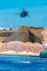 Volando (frankkevedo) Tags: delfin fly vuelo canarias lanzarote