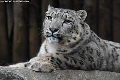 Snowleopard - Zoo Amneville (Mandenno photography) Tags: animal animals dierenpark dierentuin dieren snow snowleopard leopard zoo zooamneville amneville france frankrijk ngc nature bigcat big cat cats